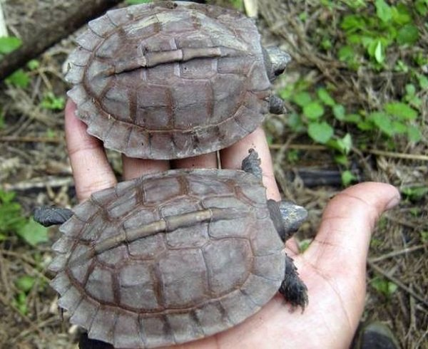 Животные - которых считали исчезнувшими - Арканская черепаха