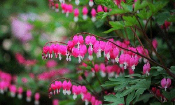 Самые дорогие цветы в мире - Дицентра