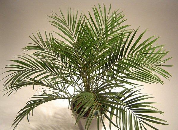 Самые распространенные комнатные растения - Финиковая пальма Робелена