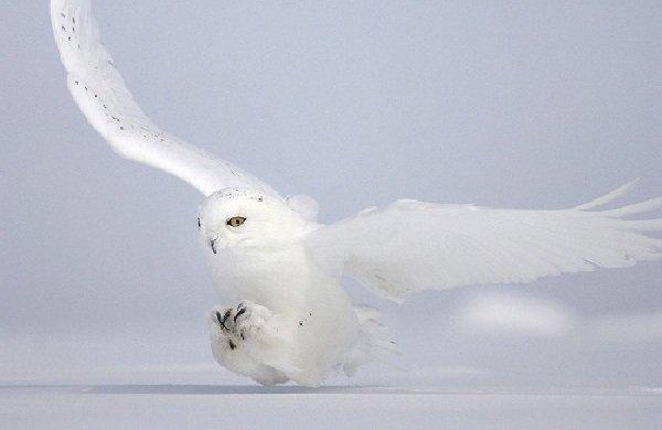 Животные белого цвета - Белые совы