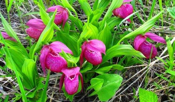 """Самые дорогие цветы в мире - Орхидея """"Венерин Башмачок"""""""