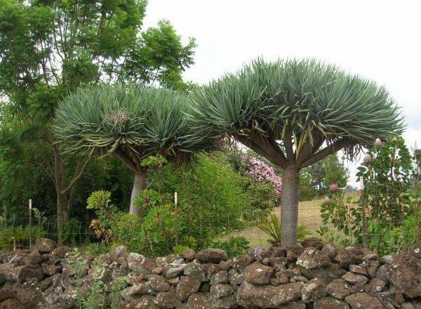 Самые неприхотливые комнатные растения - Драцена