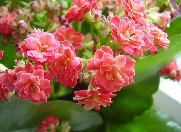 Комнатные растения целители и лечебные - Каланхоэ