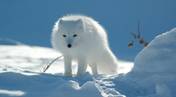 Животные белого цвета - Песец