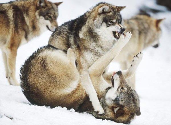 Самые свирепые животные планеты - Волки