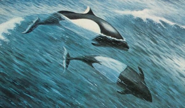 Самые быстрые рыбы в мире - Белокрылая морская свинья