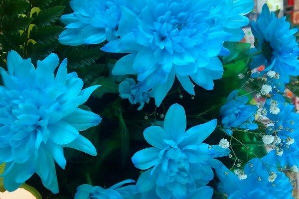 Самые дорогие цветы в мире - Голубая хризантема
