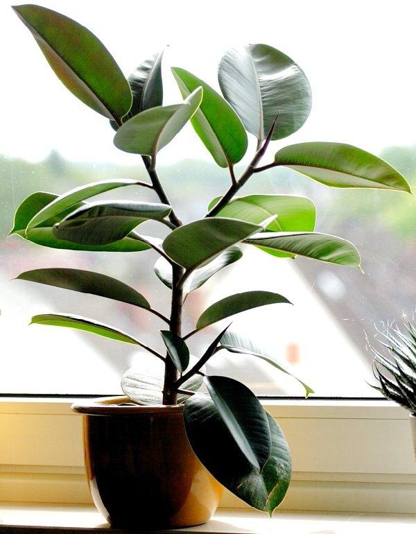 Самые неприхотливые комнатные растения - Фикус