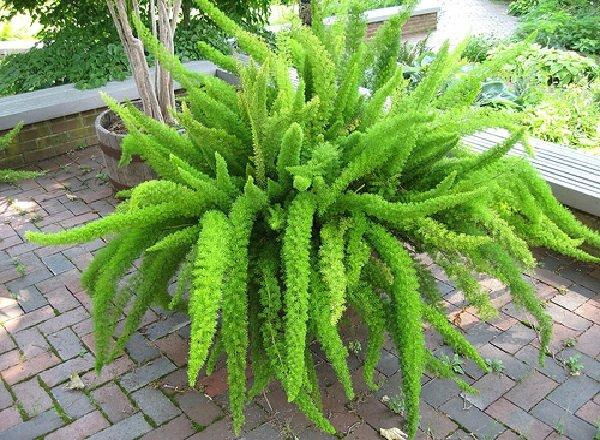 Самые распространенные комнатные растения - Аспарагус
