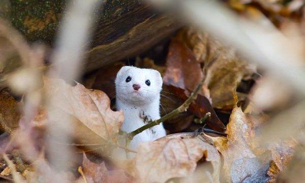 Животные белого цвета - Ласка