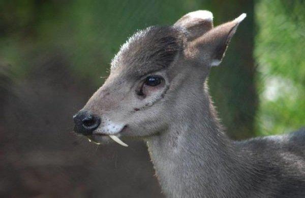 Адаптация животных в природе - Хохлатый олень