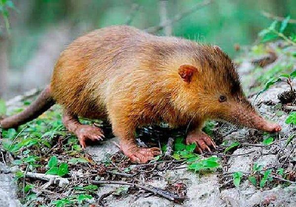 Животные - которых считали исчезнувшими - Щелезуб