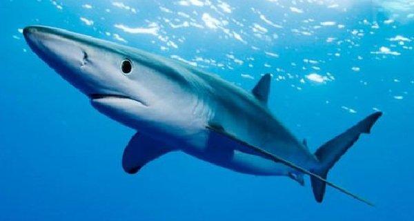 Самые быстрые рыбы в мире - Голубая акула