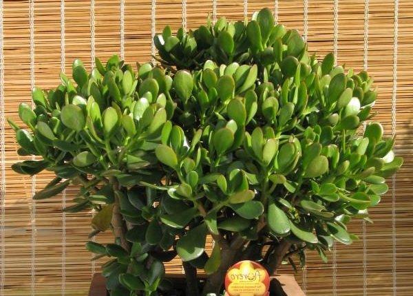 Самые неприхотливые комнатные растения - Толстянка Денежное дерево