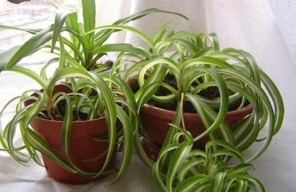Самые распространенные комнатные растения - Хлорофитум