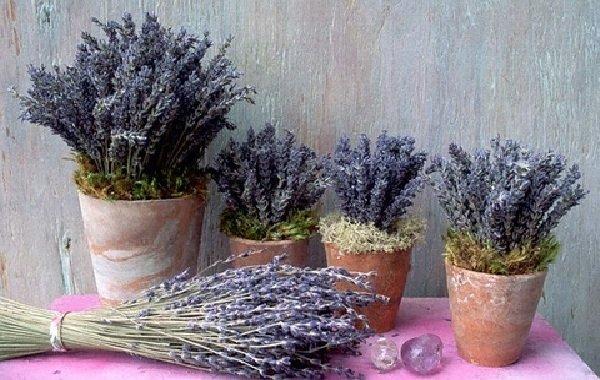 Комнатные растения целители и лечебные - Лаванда