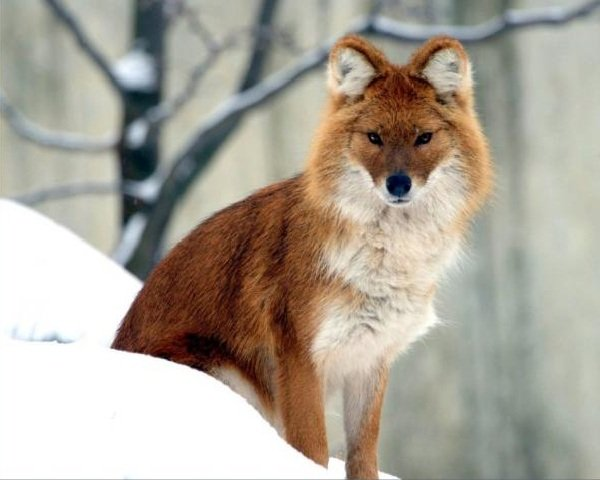 Животные гибриды фото и описание - восточный койот