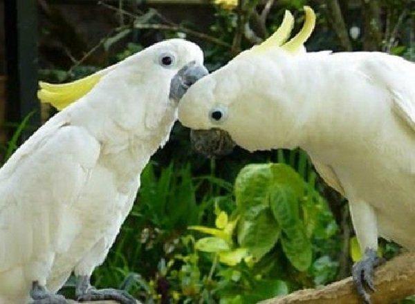 Животные - которых считали исчезнувшими - Какаду Cacatua sulphurea abbotti