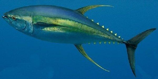 Самые быстрые рыбы в мире - Желтоперый Тунец