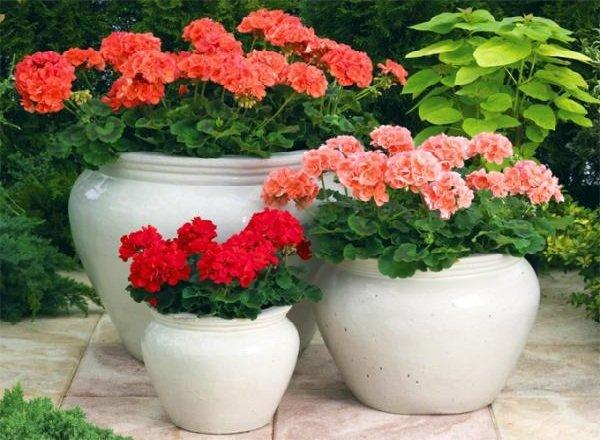 Самые распространенные комнатные растения - Герань