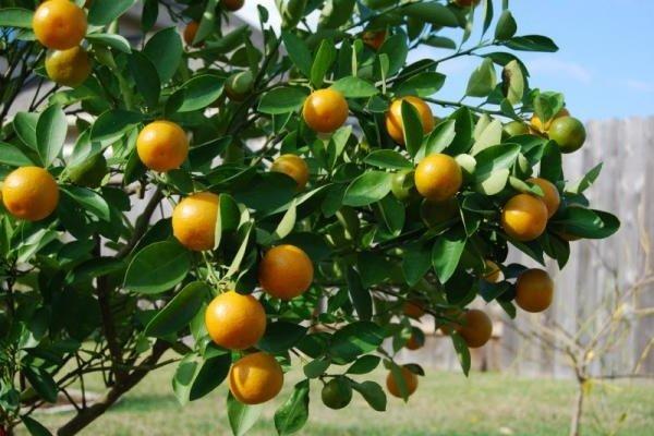 Комнатные растения целители и лечебные - Грейпфрут