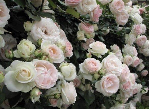 Самые дорогие цветы в мире - Пьер де Ронсар