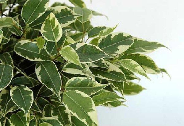 Самые распространенные комнатные растения - Фикус