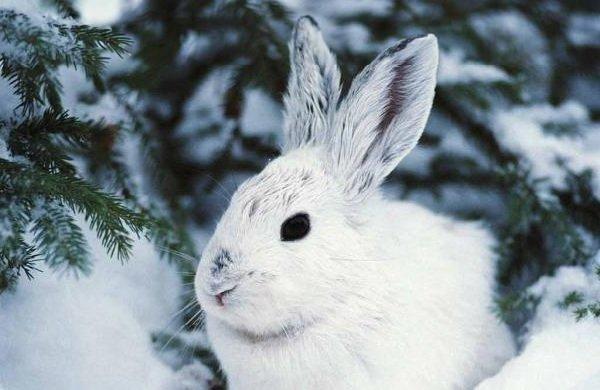 Животные белого цвета - Полярный заяц