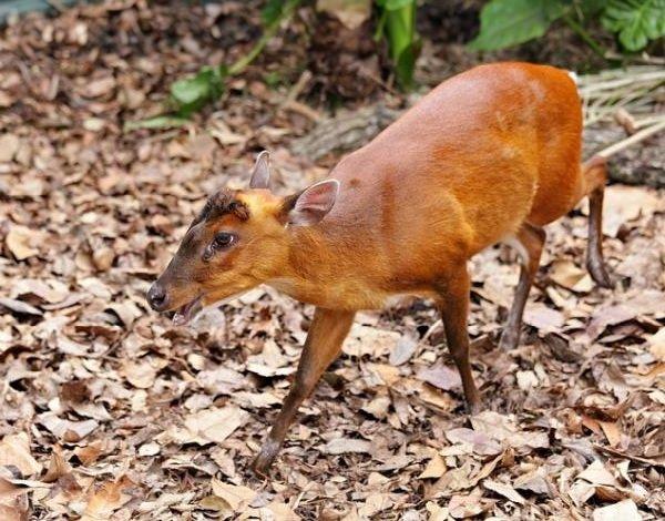 Адаптация животных в природе - Индийский мунтжак