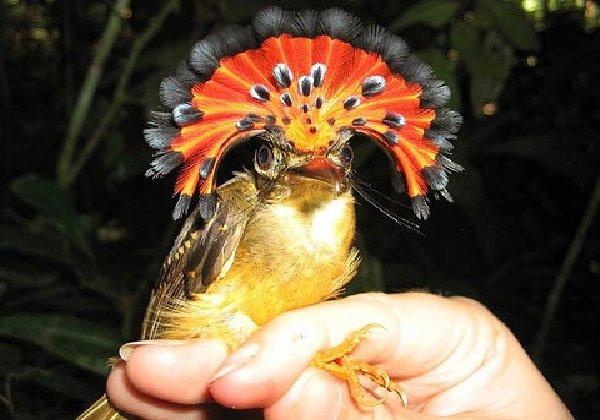 Адаптация животных в природе - Амазонский венценосный мухоед