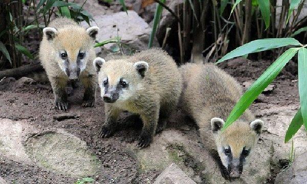 Животные обманщики во время охоты - носуха