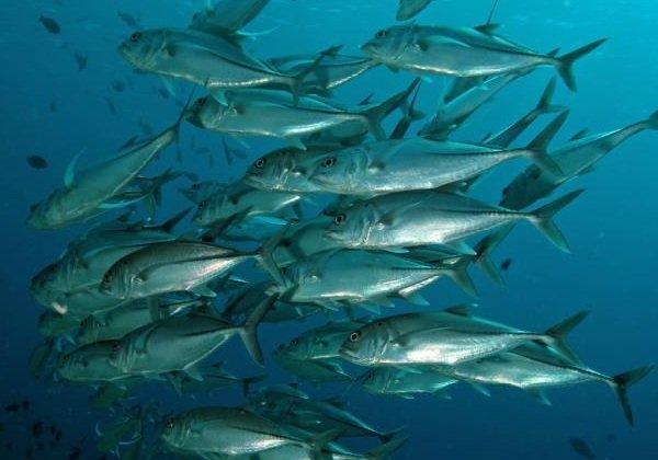 Самые быстрые рыбы в мире - Атлантическая Скумбрия