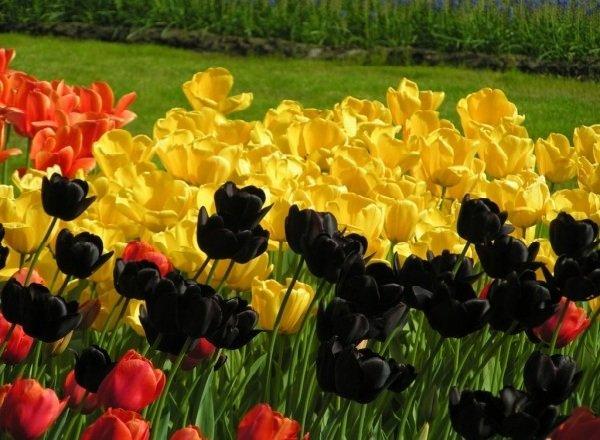 Самые дорогие цветы в мире - Тюльпан Король Ночи