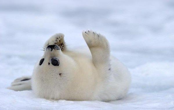 Животные белого цвета - Гренландский тюлень