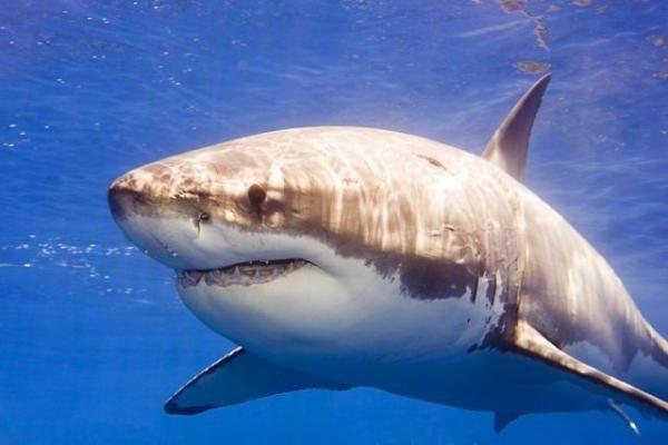 Самые свирепые животные планеты - Белая акула