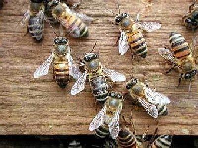 Животные гибриды фото и описание - пчелы-убийцы