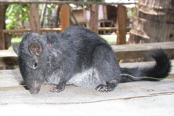 Животные - которых считали исчезнувшими - Лаосская крыса