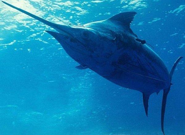 Самые быстрые рыбы в мире - Атлантический Голубой Марлин