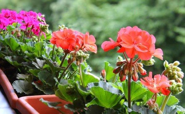 Комнатные растения целители и лечебные - Герань