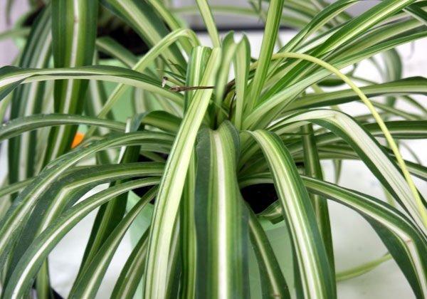 Самые неприхотливые комнатные растения - Хлорофитум