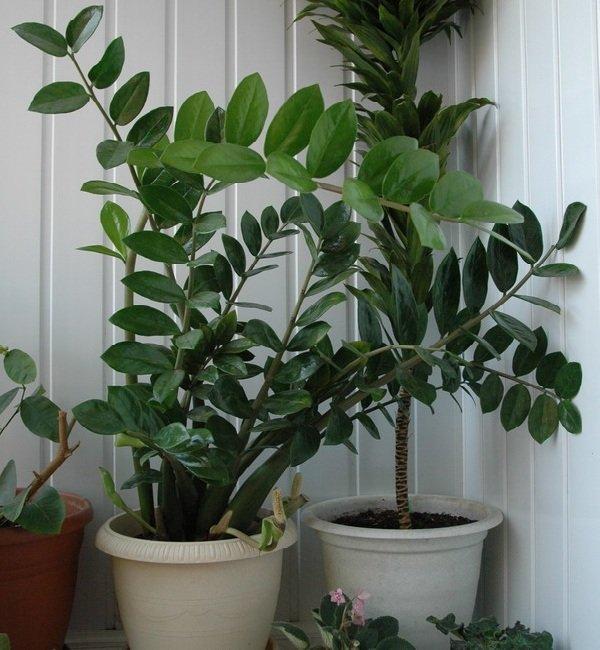 Самые неприхотливые комнатные растения - Замиокулькас