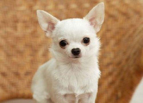 Добрые породы собак - это ошибка! Чихуахуа