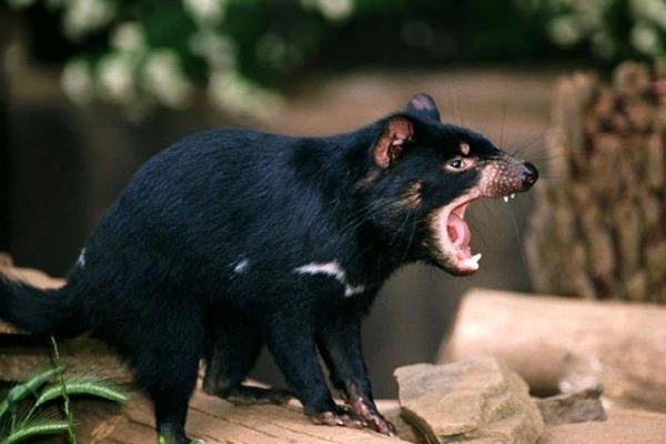 Самые медлительные животные в мире - Тасманский дьявол