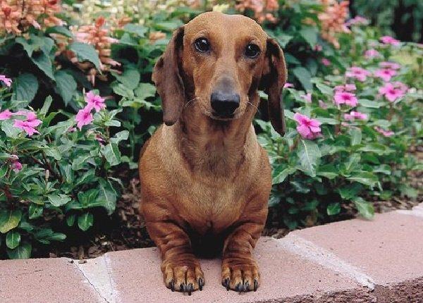 Добрые породы собак - это ошибка! Такса