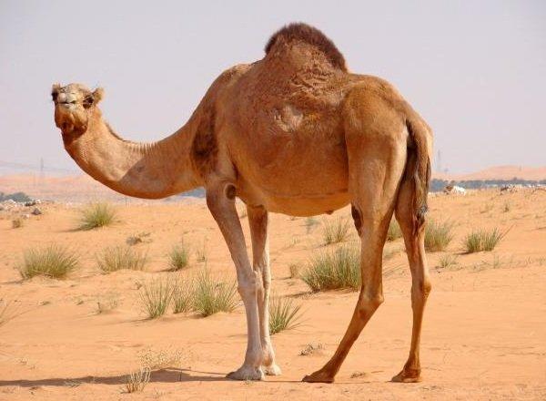 Животные пустыни - Одногорбый Верблюд