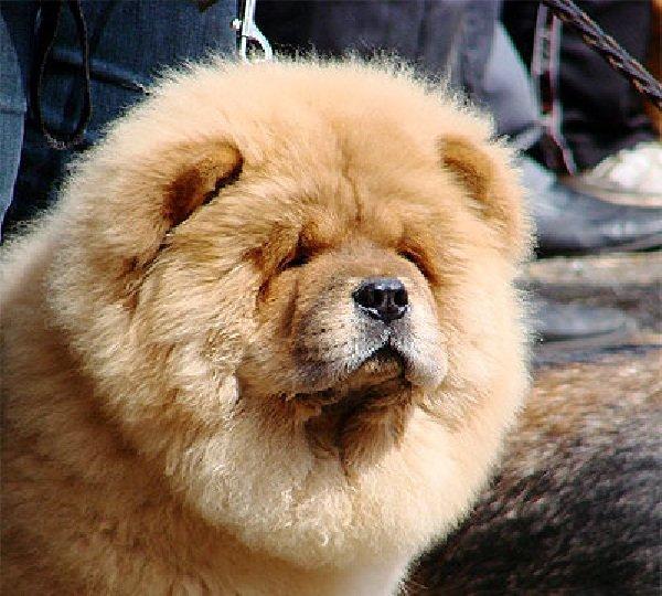 Добрые породы собак - это ошибка! Чау-чау
