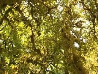Деревья Кавказа - реликтовые долгожители!