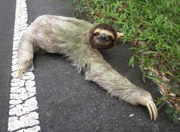 Самые медлительные животные в мире - Трехпалый ленивец