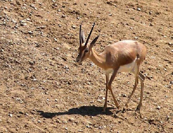 Животные пустыни - Газель Доракс