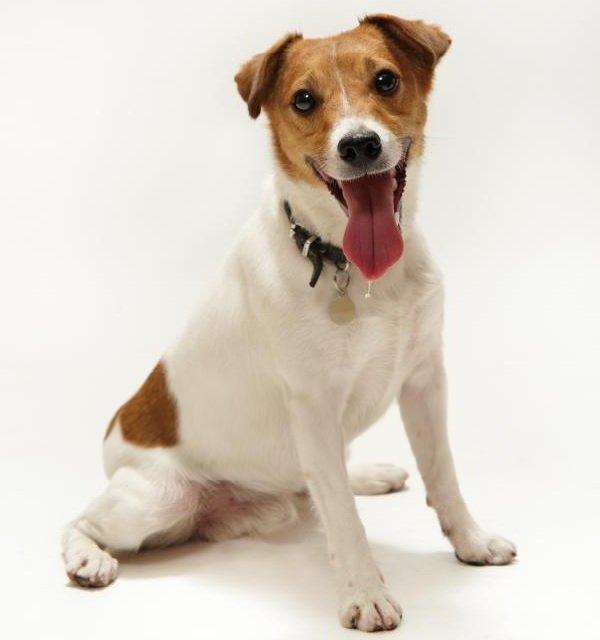 Добрые породы собак - это ошибка! Джек-рассел-терьер